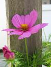 Ptownpinkflower