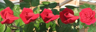 Roseblooms